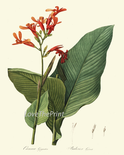 BOTANICAL PRINT Redoute  Art 169 Beautiful Tropical Canna Lily Flower Antique Illustration Wall Home Plant to Frame Bedroom Living Room