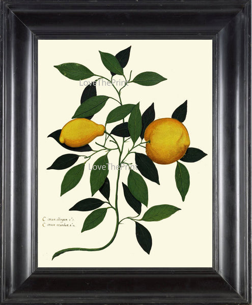 Lemon Print ITALIAN VEGETABLE Garden Aldrovandi  Botanical Art Print 49 Antique Beautiful Citrus Fruit Plant Tree Home Wall Decoration