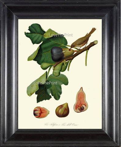 Fig Fruit Bird Print  Botanical Art Print C1 Antique Beautiful Plant Tree Natural Science Chart Home Room Wall Decoration to Frame
