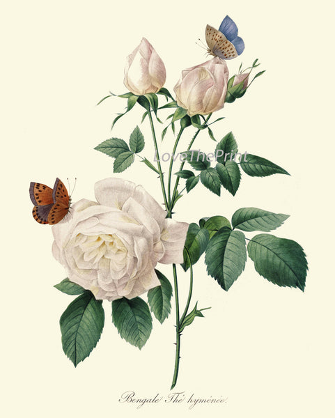 BOTANICAL Print SET of 3 Art Prints  Redoute Antique French White Roses Garden Nature Plants Vintage Home Room Wall Decor to Frame