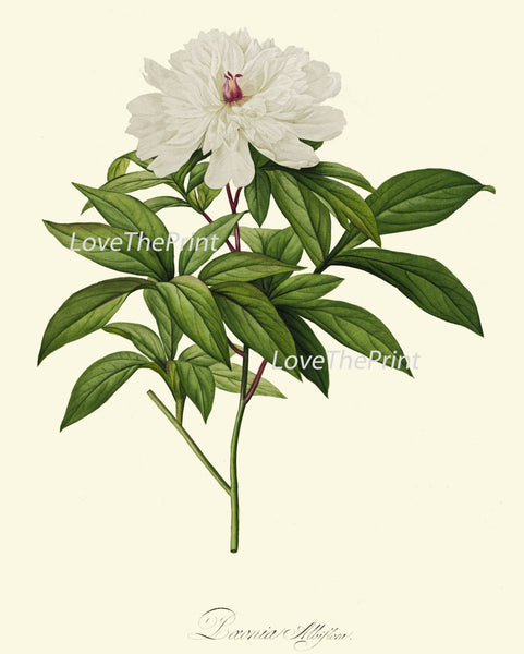 BOTANICAL Print SET of 9 Art Prints  Redoute Beautiful Antique White Flowers Rose Peony Narcissus Magnolia Home Room Wall Decoration
