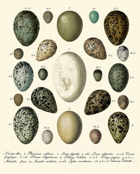 Bird Egg Print SET of 12 Art Print Antique Birds Eggs on Ivory Background Natural Science Nature Wall Home Decor Interior Design