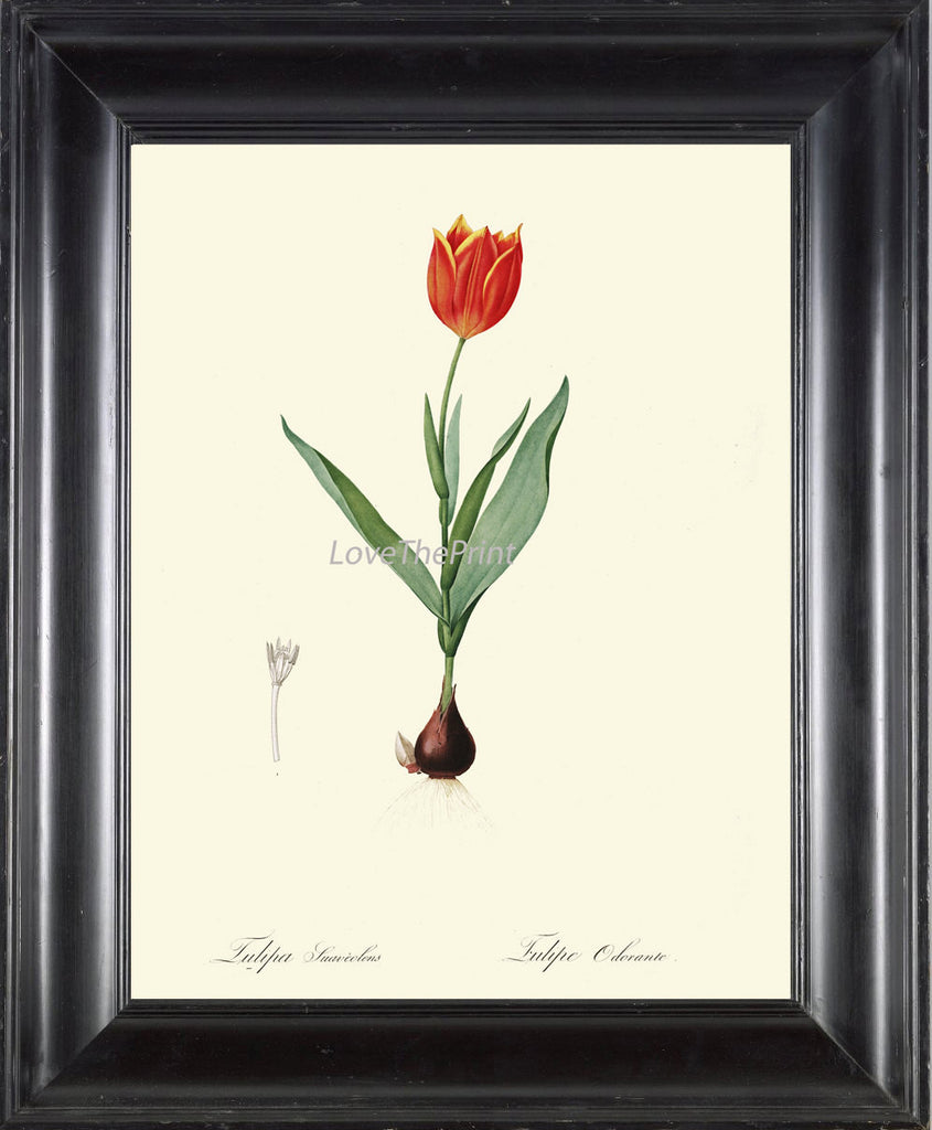 BOTANICAL PRINT Redoute Flower  Art Print 88 Beautiful Antique Red Tulip Bulb Spring Garden Plant Illustration to Frame Home Wall Decor