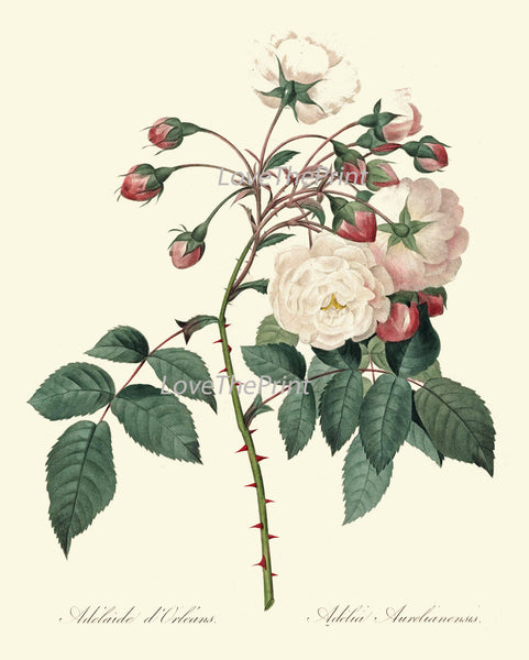 BOTANICAL PRINT Redoute Flower  Art Print 372 Beautiful Antique French White Pink Rose Graden Plant Illustration to Frame Home Decor