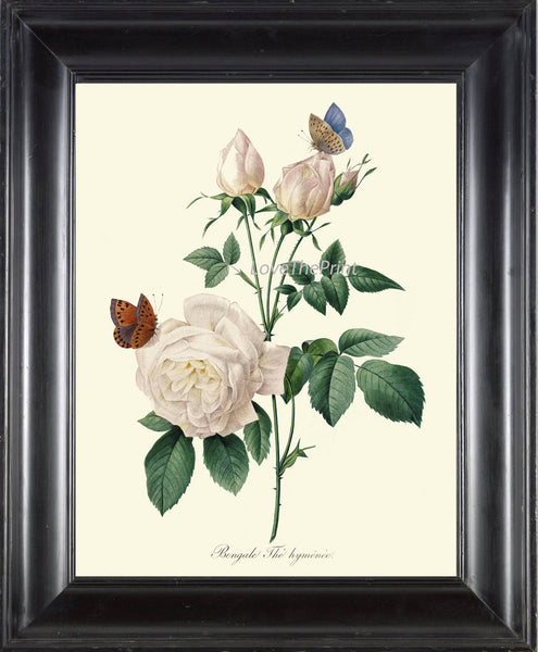 BOTANICAL PRINT Redoute Flower  Art Print 385 Beautiful Antique French White Rose Butterfly Graden Illustration to Frame Home Decor