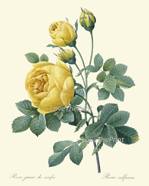 BOTANICAL PRINT Redoute Flower  Art Print 380 Beautiful Antique French Yellow Rose Spring Summer Graden Illustration to Frame Home Decor