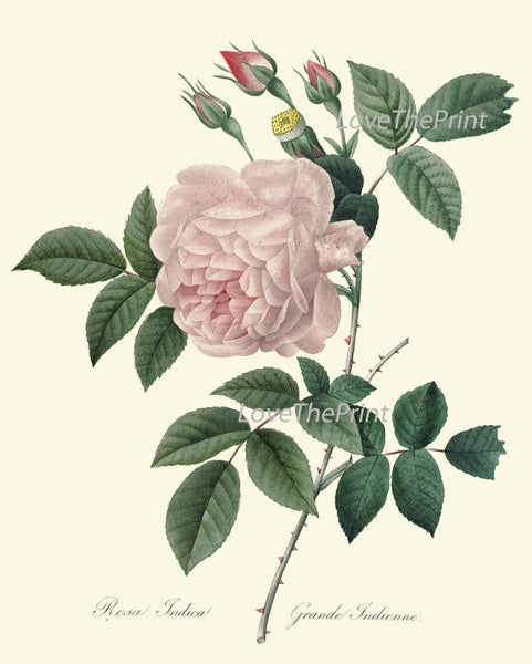 BOTANICAL PRINT Redoute Flower  Art Print 415 Beautiful Antique Pink Rose French Country Provencal Graden Illustration to Frame Decor