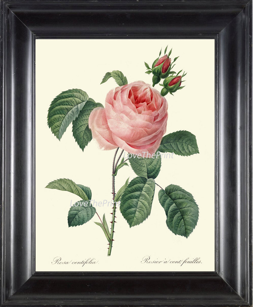 BOTANICAL PRINT Redoute Flower  Art Print 381 Beautiful Antique Pink Rose Spring Summer Plant Illustration Picture to Frame Home Decor