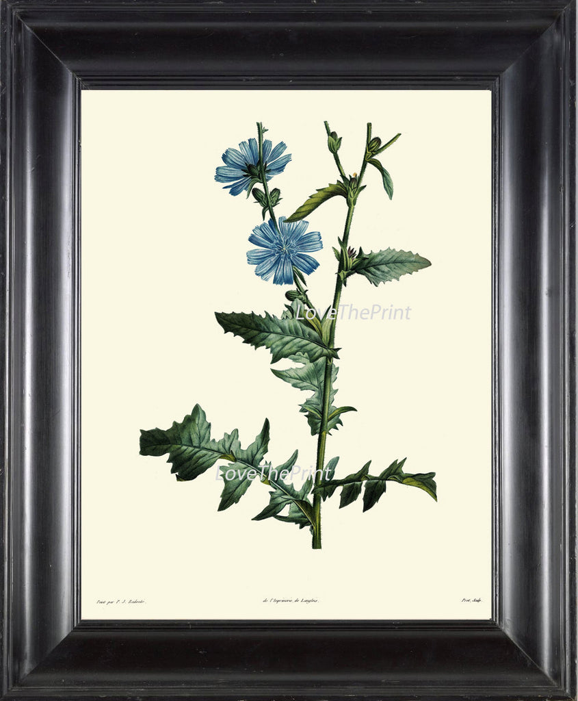 BOTANICAL PRINT Redoute Flower  Art Print 216 Beautiful Antique Blue Wildflower Plant Illustration to Frame Home Decor Interior Design