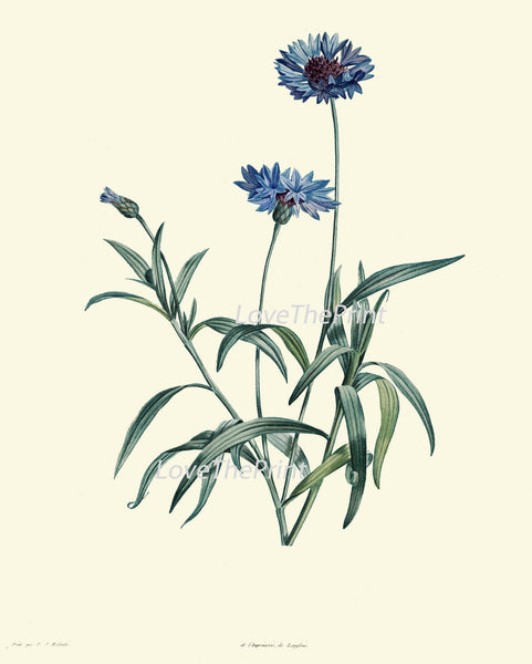 BOTANICAL PRINT Redoute Flower  Art Print 217 Beautiful Antique Blue Cornflower Wildflower Illustration to Frame Wall Decor