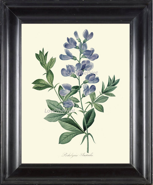 BOTANICAL PRINT Redoute Flower  Art Print 361 Beautiful Antique Blue Podalyria Natural Science Illustration to Frame Home Wall Decor