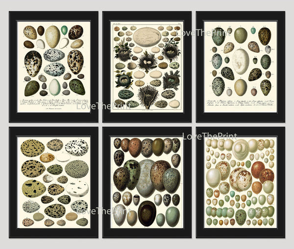 Bird Egg Print SET of 6 Art Print Antique Birds Eggs Natural Science Nature Drawing Picture Wall Home Wall Decor Interior Design to Frame