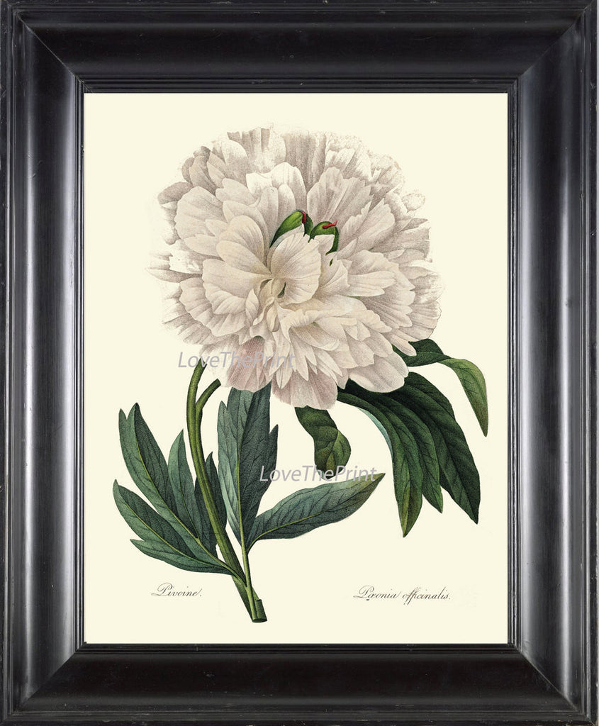 BOTANICAL PRINT Redoute Flower  Art Print 3 Beautiful White Peony Spring Large Blooming Plant Garden Nature to Frame Home Wall Decor
