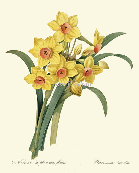 BOTANICAL PRINT Redoute Flower  Art Print 488 Beautiful Yellow Narcissus Spring Garden Plant Nature to Frame Wall Decor Interior Desing