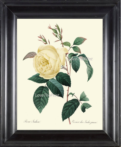 BOTANICAL PRINT Redoute Flower  Art Print 391 Beautiful Antique Yellow Rose French Country Provencal Graden Illustration to Frame Decor