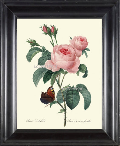 BOTANICAL PRINT Redoute Flower  Art Print 423 Beautiful Antique Pink Rose French Country Butterfly Graden Illustration to Frame Decor