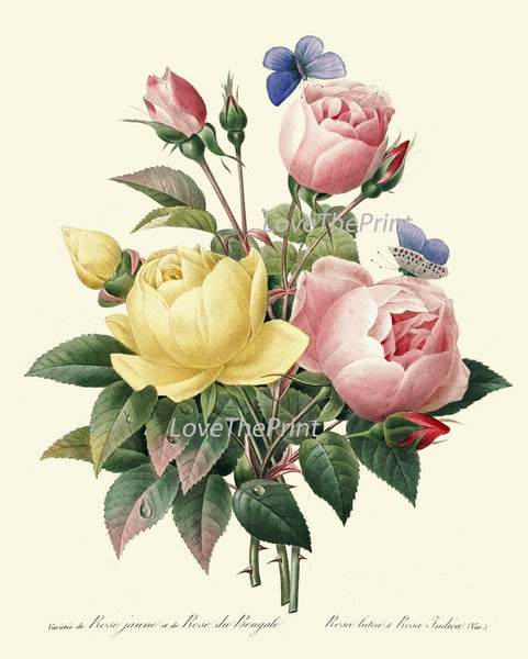 BOTANICAL PRINT Redoute Flower  Art Print 426 Beautiful Antique Pink Yellow Roses Blue Butterfly Graden Illustration to Frame Decor