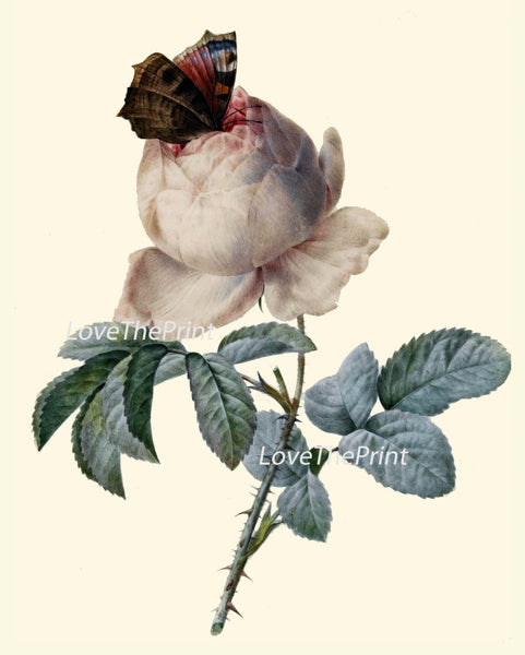 BOTANICAL PRINT Redoute Flower  Art Print 489 Beautiful Antique White Rose Butterfly French Country Nature Illustration Wall Home Decor