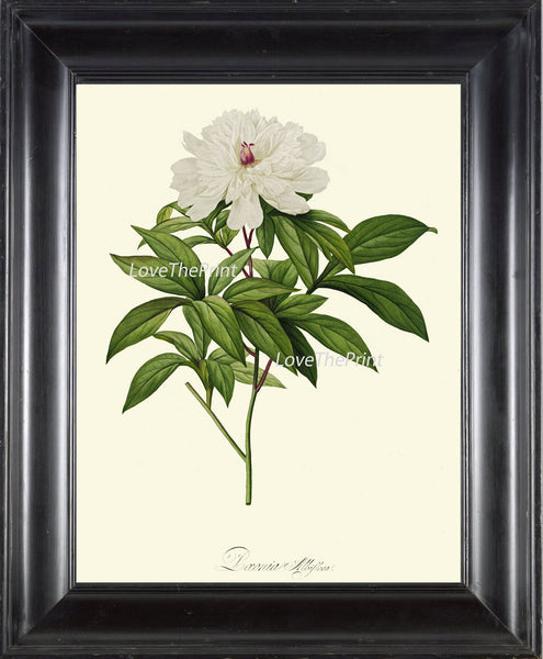 BOTANICAL PRINT Redoute Flower  Art Print 441 Beautiful Antique White Peony Botany Garden Nature Illustration Wall Home Decor to Frame