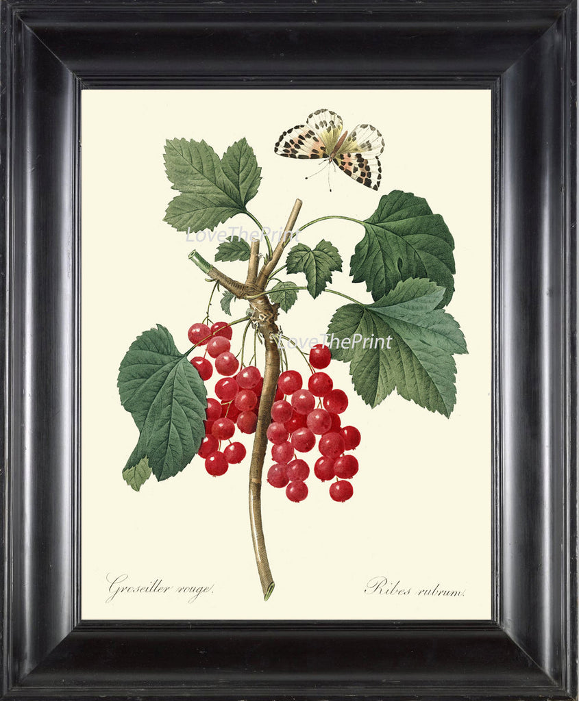 BOTANICAL PRINT Redoute Flower  Art 335 Beautiful Antique Red Currant Berries Fruit Garden Plant Butterfly Illustration Wall Decor