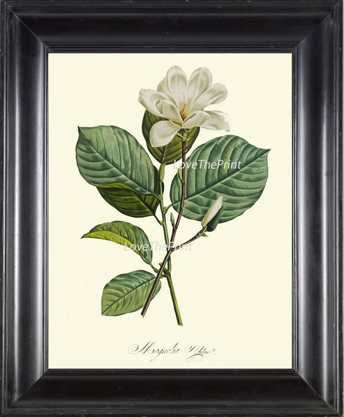 BOTANICAL PRINT Redoute Flower  Art Print 436 Beautiful Antique White Magnolia Spring Summer Plant Illustration Home Interior Design