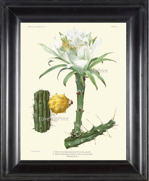 BOTANICAL PRINT CACTUS  Art Print 20 Beautiful Blooming White Flower Plant Tropical Illustration Garden Home Room Wall Decor to Frame