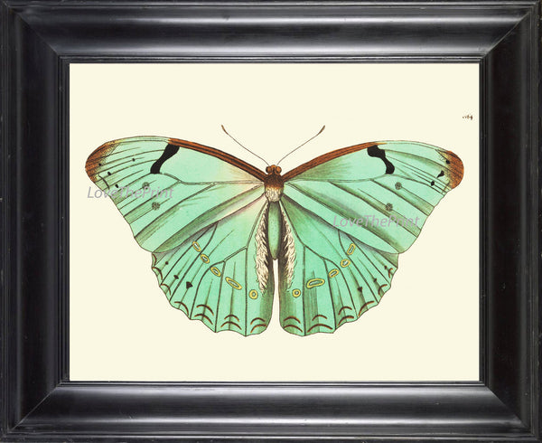 BUTTERFLY PRINT  Botanical Art Print NOD430 Beautiful Antique Illustration Flower Vegetable Garden Nature Home Room Wall Decor to Frame