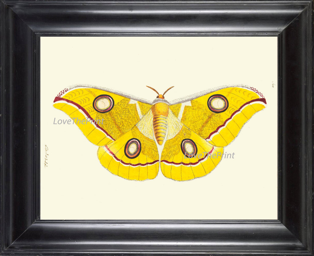 BUTTERFLY PRINT  Botanical Art Print NOD475 Beautiful Large Yellow Antique Illustration Flower Nature Home Room Wall Decor to Frame