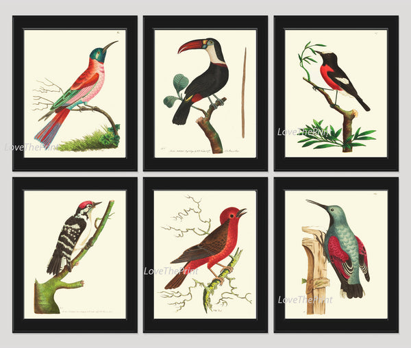 Bird Print Set of 6 Antique  Beautiful Birds Large Toucan Woodpecker Red Aqua Forst Nature Home Room Wall Decor Decoration to Frame NODD