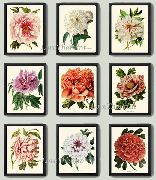 BOTANICAL Print SET of 9 Art  Antique Peony Peonies White Coral Plants Spring Summer Garden Nature Vintage Wall Home Decor Illustration