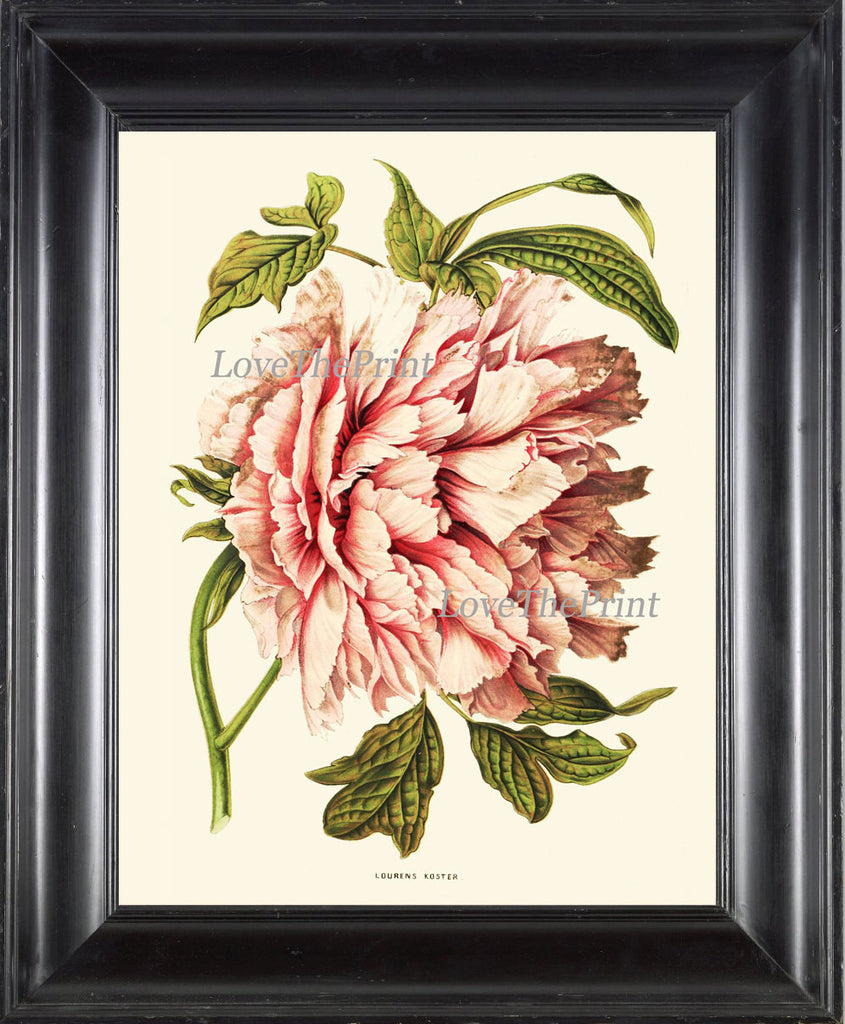 Peony Print 2 Botanical Flower  Art Beautiful Antique Large White Pink Coral Spring Plant Illustration to Frame Home Room Wall Decor