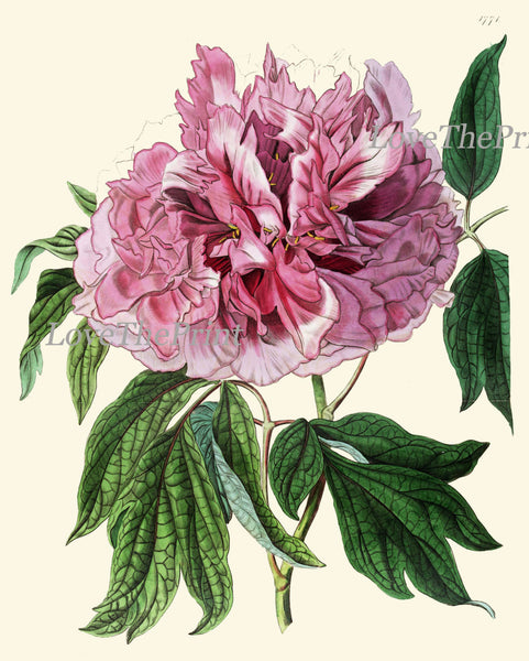 Peony Print 15 Botanical Flower  Art Beautiful Antique Large Summer Nature Green Garden Plant Illustration to Frame Home Room Wall Decor