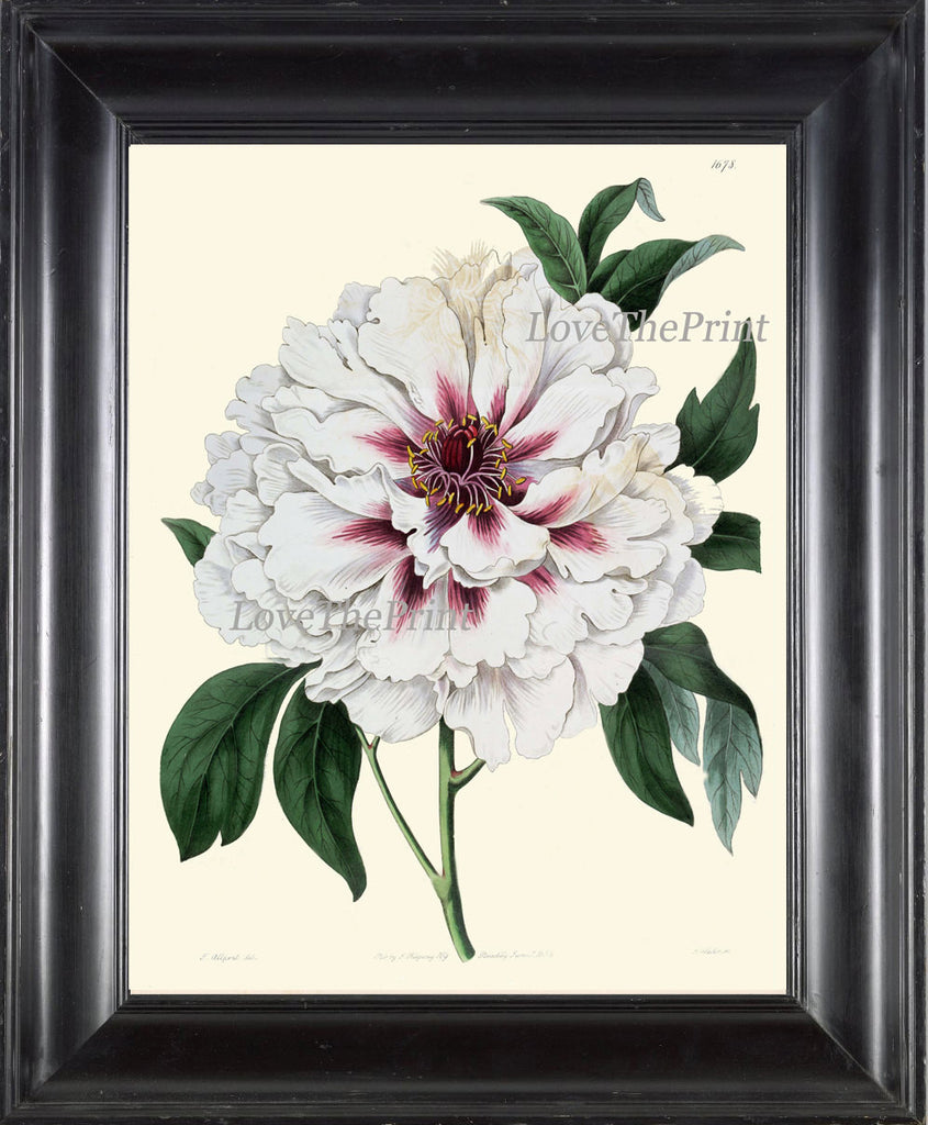 Peony Print 17 Botanical Flower 8x10 Art Beautiful Antique Large White Summer Nature Garden Plant Illustration to Frame Home Room Wall Decor
