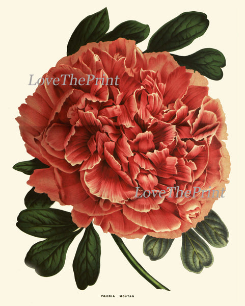 Peony Print 19 Botanical Flower 8x10 Art Beautiful Antique Large Summer Green Nature Garden Plant Illustration to Frame Home Room Wall Decor