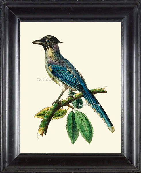 Bird Print  Art NOD597 Beautiful Antique Blue Cyanean Crow Illustration Decoration Wall Hanging Home Room Decor Forest Nature to Frame