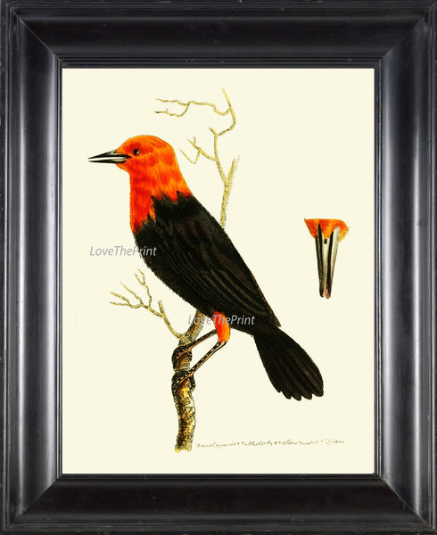 Bird Print  Art NOD92 Beautiful Antique Illustration Orange Black BeakTree Leaves Decoration Wall Home Room Decor Forest Nature to Frame
