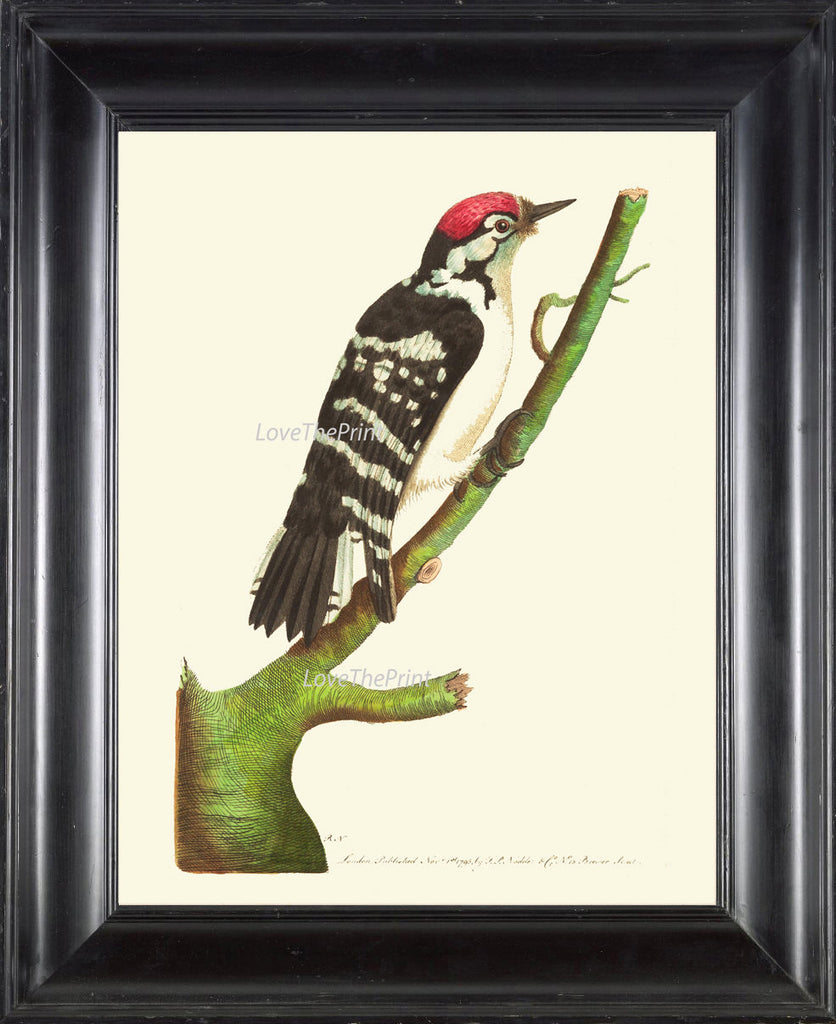Bird Print  Art NOD217 Beautiful Antique Red Woodpecker Picture Illustration Natural Science Green Nature Wall Home Room Decor to Frame