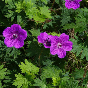 Geranium Single Origin Pure Essential Oil