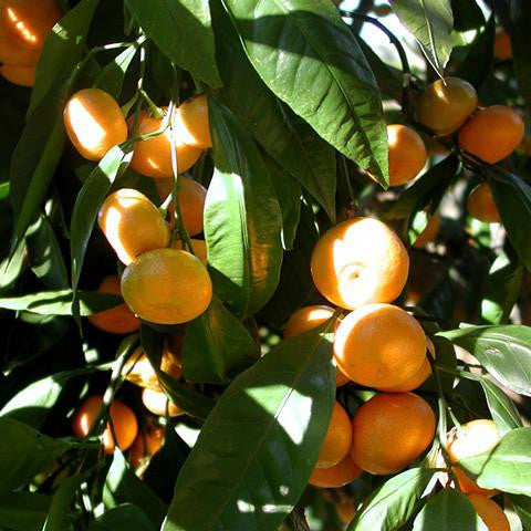 Mandarin Cold Pressed Single Origin Pure Essential Oil