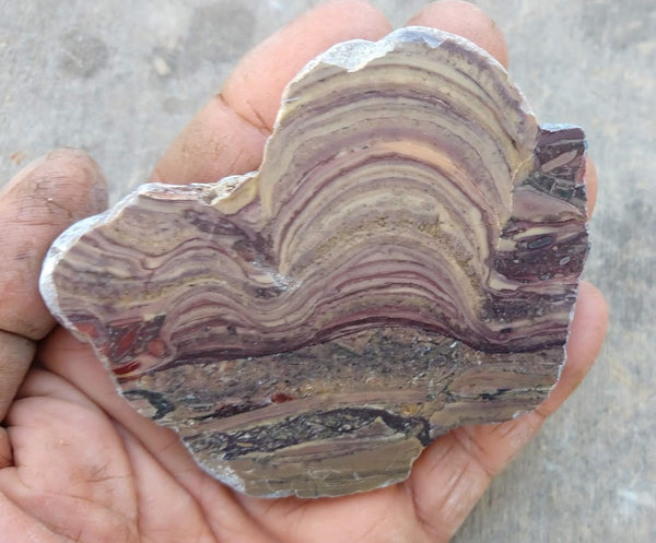 Polished fossil stromatolite. Domal from Irregully formation IRR112