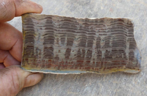 Polished fossil stromatolite. Pseudogymnosolenid type. DOG158