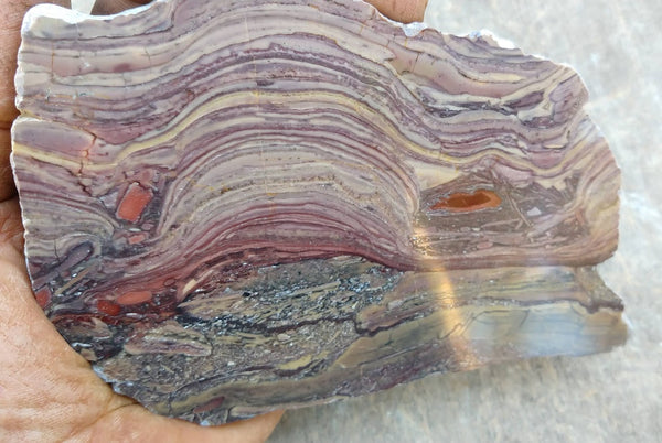 Polished fossil stromatolite. Domal from Irregully formation IRR121