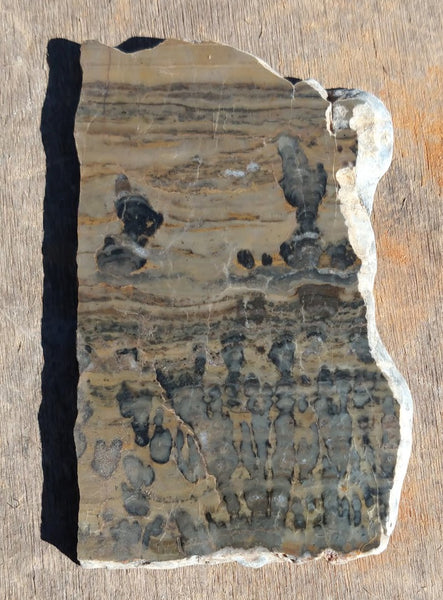 Polished fossil stromatolite. Asperia digitata YD108
