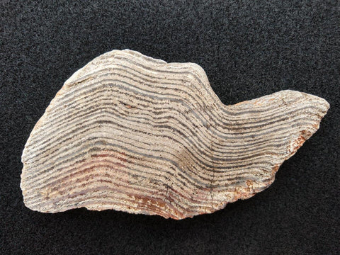Polished fossil stromatolite. Strelley Pool Formation SPF101