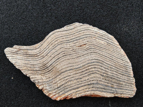 Polished fossil stromatolite. Strelley Pool Formation SPF102