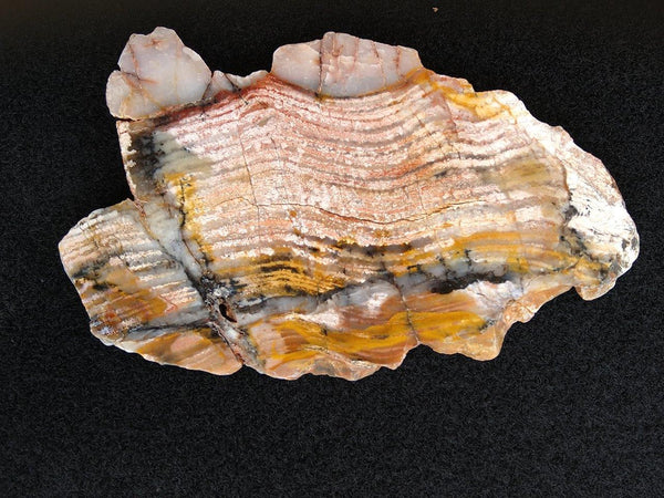 Polished fossil stromatolite. Strelley Pool Formation SPF103