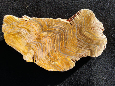 Polished fossil stromatolite. Strelley Pool Formation SPF111