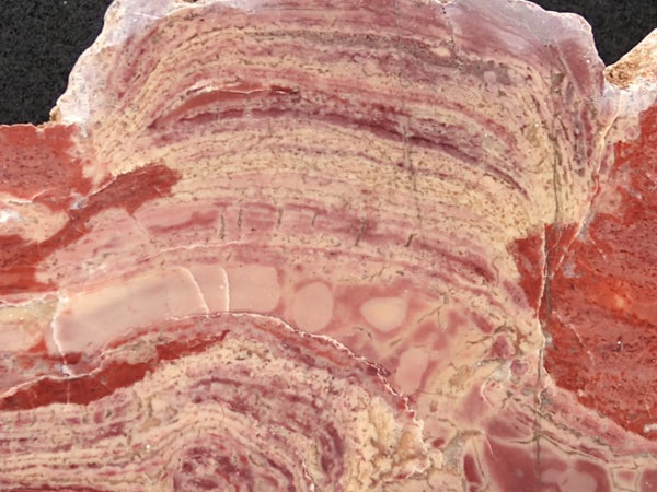 Polished fossil stromatolite. Domal from Irregully formation IRR124