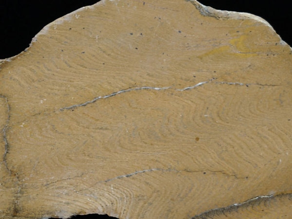 Polished fossil stromatolite. Strelley Pool Formation SPF117