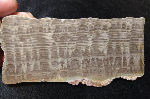 Polished fossil stromatolite. Pseudogymnosolenid type. DOG163